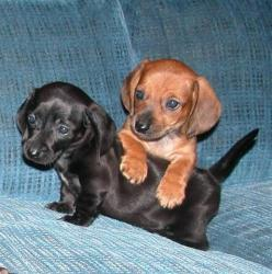 mini dachshunds. These must be mine!: Miniature Dachshunds, Baby Doxies, Miniature Dachshund Puppies, Puppy, Dog, Baby Dachshund, Mini Dachshunds