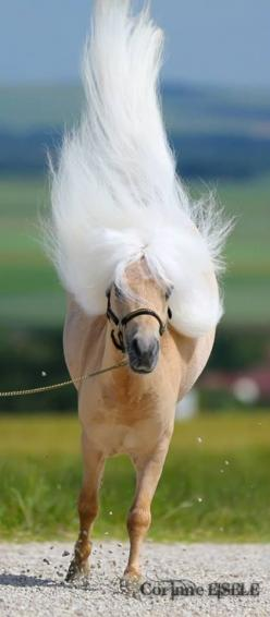 Miniature Horse - Love that long white mane.: Beautiful Horses, Animal Horses, Animals Horses Wildlife, Equine, Animals Cats Horses Birds Fish, Creatures, Horse Mane