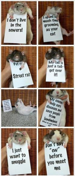 Misunderstood Rats. If only we could put this up at work next to the rats. Whenever I suggest rats to people as pets for their children many of them cringe and say never when in reality a majority of the time a rat will be a much better small pet.: Fancy