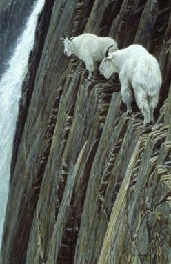 Mountain Goats Hilltop view......that's quite a view......all I can say is......better them than me!!!!: God S Creatures, Mountaingoats, Nature, Animal Kingdom, Mountain Goats, Wildlife, Amazing Animals, Photo, Robert Bateman