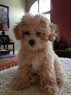 my friend has one of these maltipoo and it is so cute!!!!!!!!!!!!!!!!!!!!!!!!!!!!!!!!!!!: Animals, Dogs, Puppy Maltipoo, Pet, Maltipoo Puppy, Love Maltipoos, Adorable Things, Lil Maltipoo, Friend