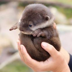 My significant otter ;): Babies, Cuteness, Baby Otters, Otter Ball, Pet, Baby Animals, Babyotters