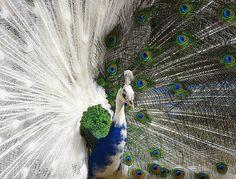 Natural Beauty: Peacock with a Plume that is Half White