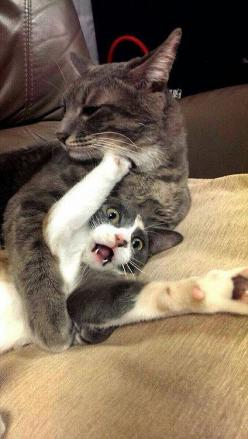 Not Going Down Without A Fight Cat | 31 Cats You Won't Believe Actually Exist: Funny Animals, Help Me, Face, Funny Cats, Funny Stuff, Funnies, Save Me, Kitty
