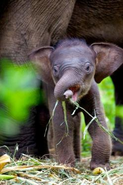 One Day Old Calf @ Elephant Conservation Centre, Thailand: Babyelephants, Babies, Animals, Baby Elephants, Beautiful, Baby Animal, Elephant Calf, Elephants 3