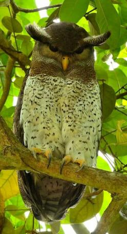 #OWL'S: Amazing Barred Eagle Owl. (Tropical Asia) http://www.dunway.com/bird_package/index.html: Animals, Nature, Barred Eagle, Asia, Beautiful Birds, Eagles, Owls, Owl
