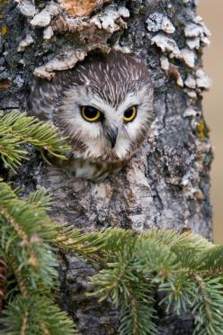 owl.: Animals, Nature, Saw Whet Owl, Owl Camouflage, Peek A Boo, Birds, Owls, Owl