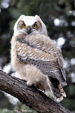 owl...You elegant fowl, how charmingly sweet you sing,,,,O let us be married, too long we have tarried,,,,,but what shall we do for a ring? love, Pussycat: Amazing, Animals, Birds Owls, Owls Who, Owl, Photo, White Owl, Devaughnsquire