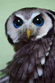 owlAll things bright and beautiful, All creatures great and small, All things wise & wonderful, The Lord God made them all: Animals, Owl Eyes, Birds Owls, Hoot Hoot, Amazing Eyes, Owl, Beautiful Owls