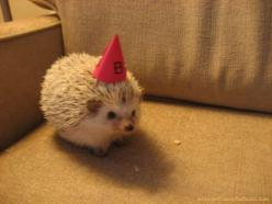 Party hedgehog. This has to be the best cute animal picture of all time. I can't look at it without wanting to dance!: Hedge Hog, Happy Birthday, Animals, Party'S, Pet, Birthday Hedgehog, Hedgehogs