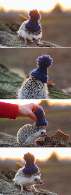 Pendleton the Hedgehog… it has a hat! when i have a hedgehog i will knit it a hat! :D: Hats, Awww, Hedgehogs 3, Animals, Hedgehog Hat, Hedgehog Wearing, Hedgie, Hedghog