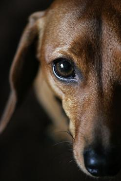 PhoDOGraphy! I'm going to start TRYING to do pics of my little weenies to see how they turn out!: Animals, Dogs, Pet, Doxie S, Doxies, Puppy, Eye