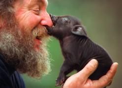 Pig breeder Brian Doggett shows off one of his special mini pigs, bred as an alternative pet to cats and dogs.: Piggie, Animals, Minipig, Mini Pigs, Friends, Pet, Creatures, Piggy, Piglet