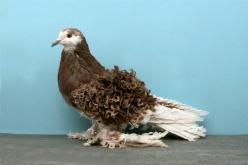 Pigeon - Frillback    It's easy to see why this breed is called a Frillback; just look at its curly wing feathers.: Frillback Pigeon, 2010 National, Pigeon Fancy, Beautiful Birds, 2010 Salt, Pigeon Coops, Tally Mezzanatto, Animal