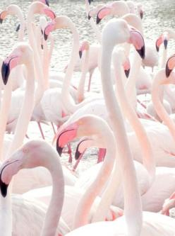 pink inspiration: Animals, Flamenco, Iphone Wallpaper, Pink Flamingos, Nature, Pale Pink, Birds, Pastel Color