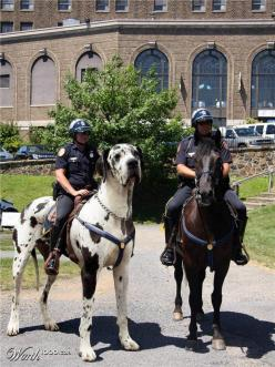 police riding large black white spotted great dane tallest dog like horse pony,  worth 1000 com, next to a horse, that's one BIG dog: Great Danes, Animals, Stuff, Horses, Funny, Photo, Big Dogs