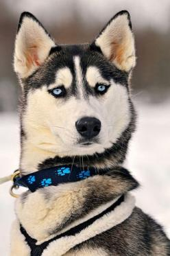 Portrait of a serious but beautiful husky: Animals, Dogs, Siberian Husky, Pet, Wallpaper, Siberian Huskies, Blue Eyes, Puppy