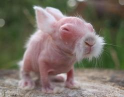 "Previous Pinner said: ""A small hairless rabbit. Hahahahahahahaha! This is the cutest/ugliest animal I have ever seen! He looks like an old Japanese sensei!"": Babies, Kungfu, Animals, Funny Stuff, Funnies, Baby Rabbit"