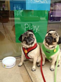 Pugs ahoy! Minnie and Max stopped by the Microsoft Store.: Bowl, 3Pugs 3, Cute Baby Animals, Puggle, Cute Pugs, Animals Pugs, Dog, Cutie Pugs