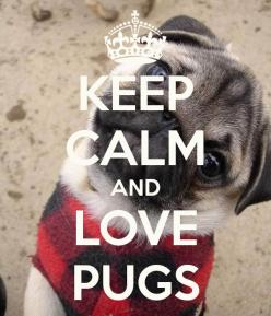 Pugs, pugs, pugs!! :D Chazz Pinette Knows this is my saying: Animals, Cute Pugs Puppies, Pug Puppies, Pug Life, Pugs Dogs, Pug Love, Keepcalm, Puggie, Keep Calm