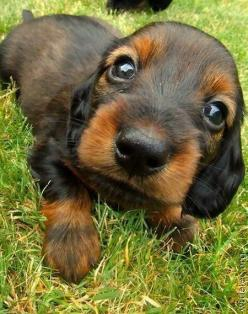 Puppy Dog Eyes. How could anyone resist this face?: Cute Puppies, Animals, Dogs, Sweet, Dachshund, Pet, Doxie, Puppys, Eye