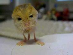 Pygmy Jerboa is among the list of those mammals that are smallest known in the world. It is nearly 47mm, or around one inch long mammal. This kind of mammal is found only in China and Central Asia but most of the all it lives in the area of Kazakhastan.