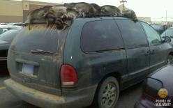 Raccoons on top of car. Only at a Wal-Mart: Funny Pictures, Walmart Shoppers, At Walmart, Redneck, Funny Stuff, Humor, Walmart People, Wtf, People Of Walmart