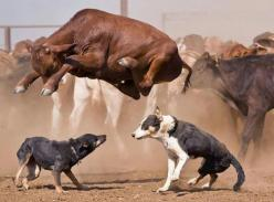 Ranch Dogs have no fear http://tanqueverderanch.com/: Farm, Animals, Pictures, Stock Dogs, Cowdogs, Photo, Friend, Cow Dogs