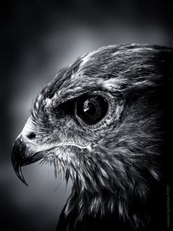 raptor of some sort... beautiful pic!!! Rarely do I see a photo with this level of detail of the eyes.: Portrait Birds, Picture, Majestic Hawks, Eagle, Animal Fun, Animals Animal Photography, Amazing Animals, Portraits, Eye