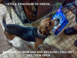Reminds me of my dog when she arrived home from the neighbours carrying a container of cottage cheese she stole: Funny Animals, Dogs, Funny Pictures, Beagles, Oreo, Humor, Funnies
