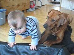 Ridgebacks are my favorite dogs for a reason... =)     From the original post:  My hubby wants a Rhodesian Ridgeback. I had concern about puppy vs. baby. How can I after seeing this?