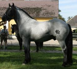 """Roan: Blue Roan.  Good example of a TRUE blue roan.  Note the Solid-colored head, legs, mane, and tail, and a *uniform* mixture of white and dark hairs over the body.  Grey horses are often called """"blue roan"""" to increase value.  Greys will always"""