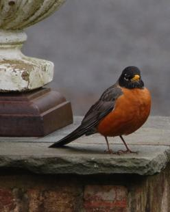 Rock' Robin... have big fat robins hopping around all over my lawn... but they won't pose for a picture. Spring must be right around the corner when these birds come back... so right!!: Cottage, American Robin, Robins, Red Breast, Birds