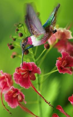 "Ruby-throated Hummingbird (If you want to attract these gorgeous birds to your garden, we have just the right organic fun way to do it) Grow an organic garden filled with hummingbird-attracting flowers with our ""Wingzy"" BloomPucks - available from"