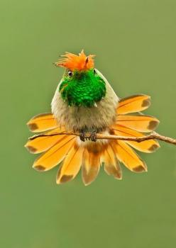 Rufous-crested Coquette, a species of hummingbird. It is found in Bolivia, Columbia, Ecuador, Panama, and Peru: Colorful Birds, Animals, Beautiful Birds, Hummingbirds, David Hemmings