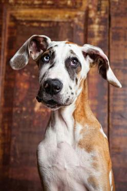 @Shanyn Claycomb - your recent dane pins have made me smile, so I'm returning the favor. This one is for you...: Great Danes, Doggie, Animals, Faces, Dogs, Pets, Puppy, Friend