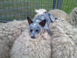 Sheep dog - you're not doing it right.: Animals, Australian Cattle, Pet, Funny, Blue Heeler, Cattle Dogs, Friend, Top