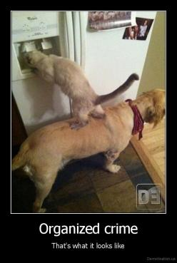 Siamese are this smart! :) Organized Crime - and some people say animals aren't smart: Cats, Animals, Teamwork, Friends, Dogs, Pets, Funny Stuff, Funny Animal, Team Work