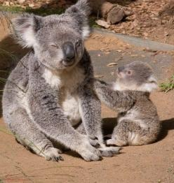 so cute - little koala: Amazing Wildlife, Baby Koala, Mom Mom Mom, Koalas, Koala Mom, Koala Bears, Baby Animals, 569 600 Pixel