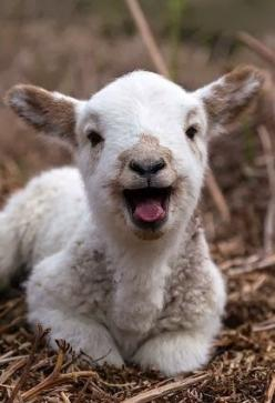 So why if I search for lamb all I get is peoples dinner of lambs and no lamb pictures? Seems twisted. Go vegan.: Farm Animals, Happy Lamb, Baby Lamb, Sheep, Adorable, Baby Animals, Smile, Baby Goats
