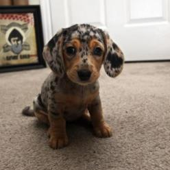 speckled puppy adorableness.: Animals, Dogs, Dachshund Puppies, Dapple Dachshund, Doxie, Pets, Puppys, Box