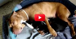 Stop Searching! We Have Found The Cutest Thing On The Internet! You HAVE To See This For Yourself! | The Animal Rescue Site Blog: Cats, Animal Rescue, Animals Dogs Pets, Pitbull Dogs, Friends, Animal Videos, Kitty Massage, Pit Bull