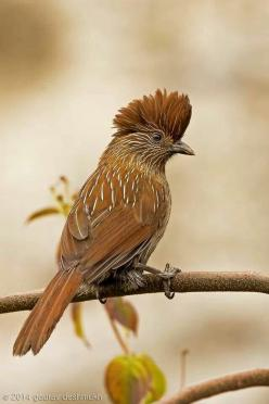 Striated Laughingthrush (Garrulax striatus) is a bird species in the Leiothrichidae family.  It is found in the northern temperate regions of the Indian subcontinent and ranges across Bhutan, India, Myanmar, Tibet, and Nepal.: Gaurav Deshmukh, Striated La