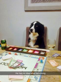 """tastefullyoffensive:  """"You guys know I'm a dog, right?"""" (photo via funksoulsister): Ideas, Border Collies, Animals, Dogs, Funny Pictures, Playing Monopoly, Funny Stuff, Funny Animal, Photo"""