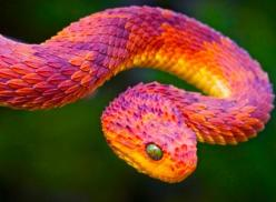 The beautiful, extremely poisonous African Bush Viper.    whoa- its a dragon    That is the prettiest snake I've ever seen.    That is a tiny dragon (of the wyrm body type) and either is hiding it's wings in some fashion or they haven't grown yet. You can