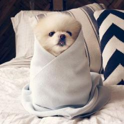 The cutest little puppy burrito!: Burritos, Pomeranian S, Instagram, Friends, Pet, Puppys, Dog, Heart Pomeranians, Animal