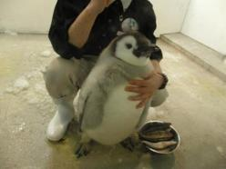 The fattest penguin. It's so fluffy!: Animals, Stuff, Pet, Chubby Penguin, Funny, Adorable, Fat Penguin, Baby Penguins