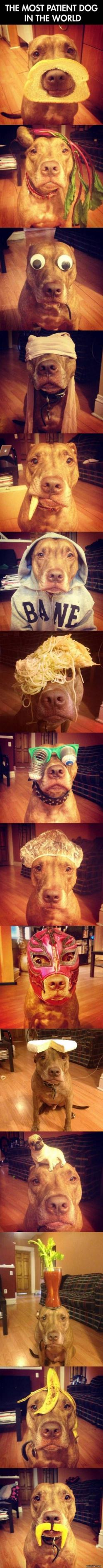 The most patient dog in the world: Animals, Funny Pics, Patient Dog, Dogs, Pitbull, Pit Bull, Funnies, Puppy
