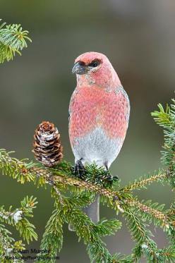 The Pine Grosbeak (Pinicola enucleator) is a large member of the true finch family, Fringillidae. It is found in coniferous woods across Alaska, the western mountains of the United States and Canada.: Birds Birds, Pine Grosbeak, Birds Butterflies, Pretty