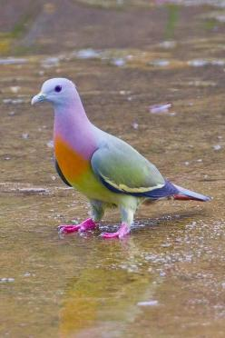 The Pink-necked Green Pigeon (Treron vernans) is a species of bird in the Columbidae family. (NOT photoshopped) It is found in Cambodia, Indonesia, Malaysia, Myanmar, the Philippines, Singapore, Thailand, and Vietnam. Its natural habitats are subtropical